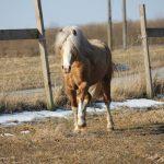 welsh-pony-af-cob-type-sec-c-dankirkebys-golden-athos